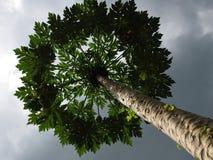 Árvore de papaia Fotos de Stock Royalty Free
