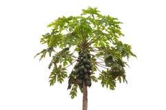 Árvore de papaia foto de stock royalty free