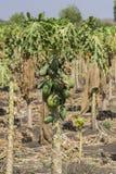 Árvore de papaia Fotografia de Stock