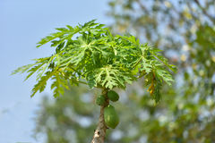 Árvore de papaia fotos de stock