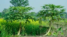 Árvore de papaia em um campo Foto de Stock