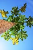 Árvore de papaia em uma opinião de céu azul de baixo de imagens de stock royalty free