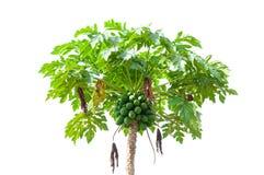 Árvore de papaia isolada no branco fotografia de stock royalty free