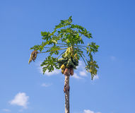 Árvore de papaia no céu azul Fotografia de Stock