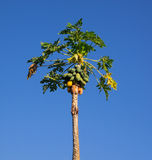 Árvore de papaia no céu azul Imagem de Stock