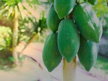 árvore de papaia no jardim Fotografia de Stock Royalty Free
