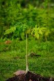 Árvore de papaia nova crescente Imagem de Stock