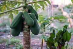 Árvore de papaia verde no jardim imagem de stock