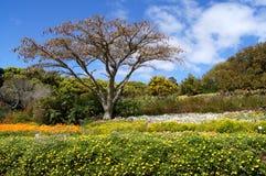 Árvore de Paperbark em jardins botânicos de Kirstenbosch Foto de Stock