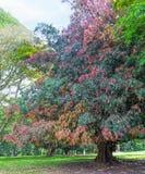 A árvore de pau-ferro preto grande Imagem de Stock Royalty Free