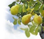 Árvore de pera Imagens de Stock