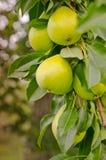 Árvore de pera Foto de Stock Royalty Free