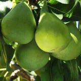 Árvore de pera Fotos de Stock