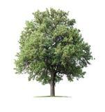 Árvore de pera Fotografia de Stock Royalty Free