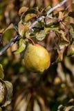 Árvore de pera Imagens de Stock Royalty Free