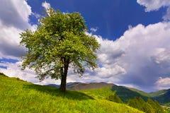 Árvore de pera de florescência fotos de stock