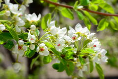 Árvore de pera de florescência Fotos de Stock Royalty Free
