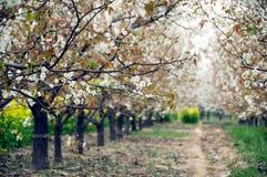Árvore de pera de florescência na mola imagens de stock