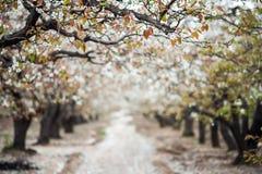 Árvore de pera de florescência na mola fotografia de stock