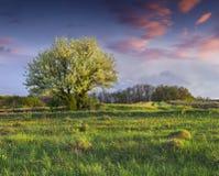 Árvore de pera de florescência no jardim na mola imagem de stock royalty free
