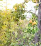 Árvore de pera em feixes do sol Fotografia de Stock Royalty Free