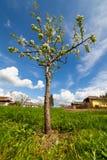 Árvore de pera em um jardim Fotografia de Stock Royalty Free