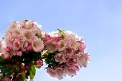 Árvore de pera de florescência Fotografia de Stock