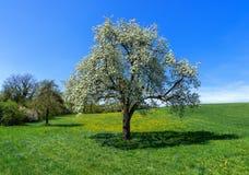 Árvore de pera de florescência em um prado fotos de stock royalty free