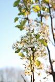 A árvore de pera de florescência floresce no ramo pequeno imagem de stock