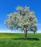 Árvore de pera de florescência - formato vertical fotografia de stock royalty free