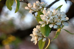 Árvore de pera na flor Imagem de Stock Royalty Free