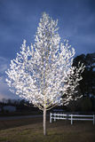 Árvore de pera na flor Fotos de Stock Royalty Free