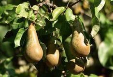 Árvore de pera no fruto fotografia de stock