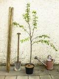 Árvore de pera pronta para plantar fotos de stock royalty free