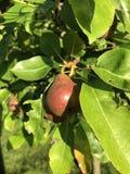 Árvore de pera velha fotos de stock royalty free