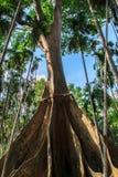 Árvore de Phung Imagens de Stock Royalty Free