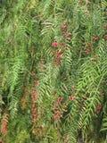 Árvore de pimenta falsa com fruto fotos de stock royalty free