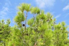 Árvore de Pinecone sob o céu azul Fotografia de Stock Royalty Free