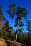 Árvore de pinho Imagem de Stock Royalty Free
