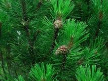 Árvore de pinho foto de stock