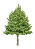 Árvore de pinho fotografia de stock