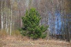 Árvore de pinho Imagens de Stock