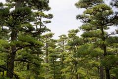 Árvore de pinho 1 Foto de Stock Royalty Free