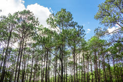 Árvore de pinho bonita Fotografia de Stock Royalty Free