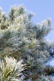 Árvore de pinho congelada Foto de Stock Royalty Free
