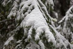 Árvore de pinho congelada Foto de Stock