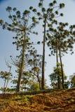 Árvore de pinho da araucária Imagens de Stock