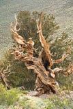 Árvore de pinho de Birstlecone Fotos de Stock Royalty Free
