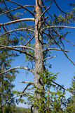 Árvore de pinho e céu azul Imagens de Stock