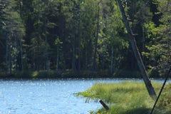 Árvore de pinho Fundo do lago forest Fotografia de Stock Royalty Free